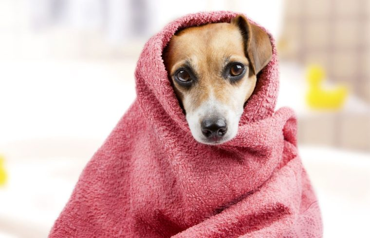 Perro envuelto con mantita