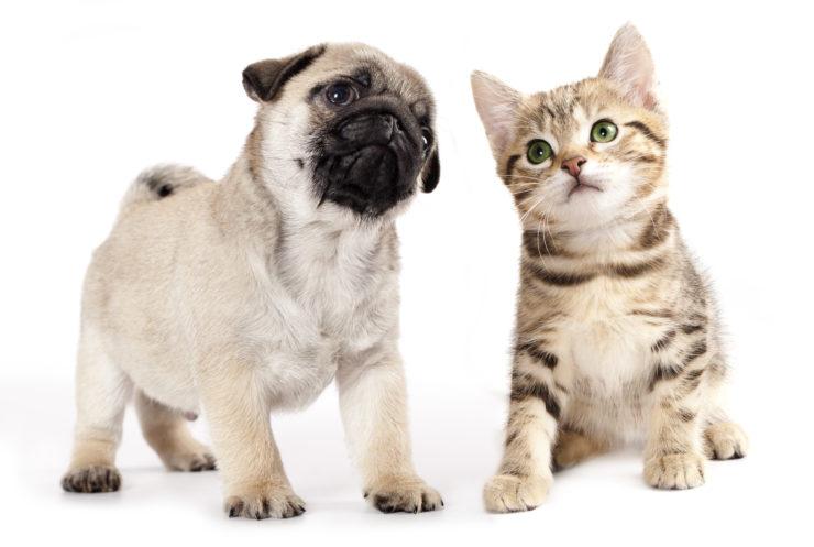 Gato y perro cachorro en fondo blanco